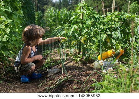 Cute little boy picking yellow capsicum in a vegetable garden. Homegrown natural food.