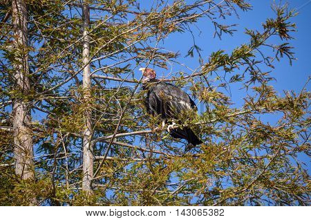 Endangered American Condor sitting on a pine tree on California coast on Route 1 (SR 1) near Big Sur. A rare species of birds. A number tag and GPS tracking devices are attached to wings of every one in the US.