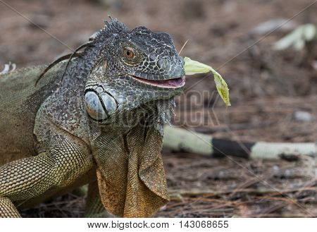 Large Green Iguana chewing on a piece of lettuce in South Florida