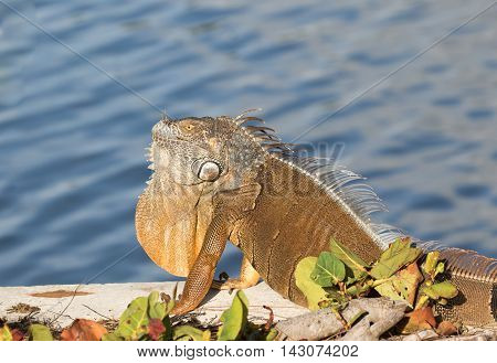Large brown adult male Green Iguana basking in the sun