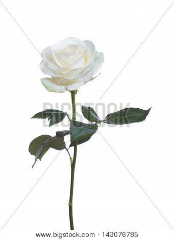 single beautiful flower white rose isolated background