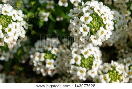 Beautiful little white flowers in naturel environmenti