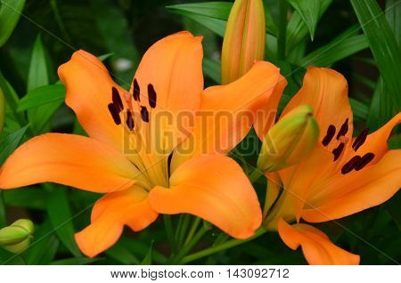 Close up view of orange lilly in the garden
