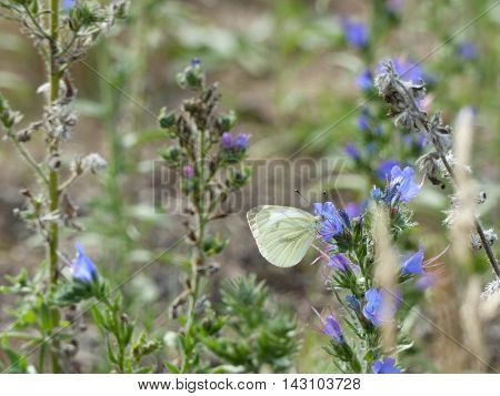 A white cabbage butterfly (Pieris rapae) searching for nectar from bluebell flowers