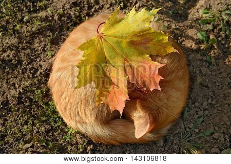 Orange cat as the soft autumn sun. Sleeping cat and maple leaf.
