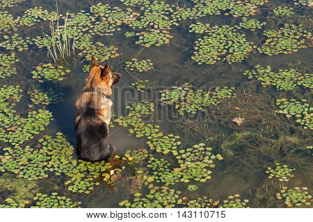 German shepherd dog (East European sheepdog) sits in water of lake among the water chestnut and waits owner. Concept of friendship and loyalty.