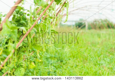 Green Beans In Greenhouse As Bio Agriculture Concept