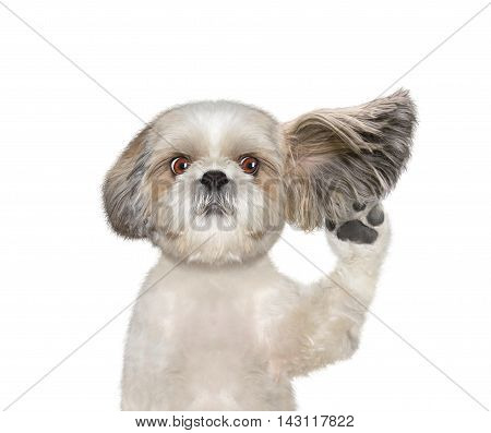 dog listens attentively to his owner -- isolated on white
