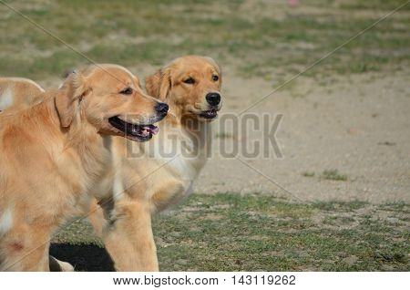 Twin golden retriever dogs walking together in a field