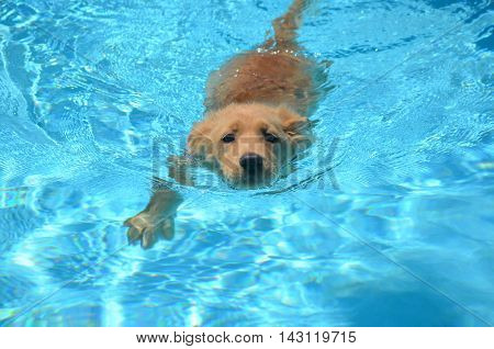 Absolutely adorable golden retriever puppy swimming in a pool.