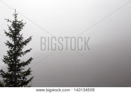 pine tree dark silhouette on mist backgroung