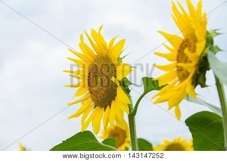 Stock photo material obtained by photographing the sunflower of the summer.