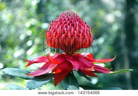 Red and magenta flower head of a native Australian protea, the Waratah (Telopea speciosissima), in the Australian bush. New South Wales floral emblem.