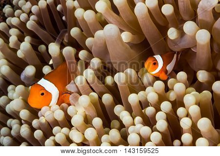 Underwater picture of couple Clow Anemone Fish