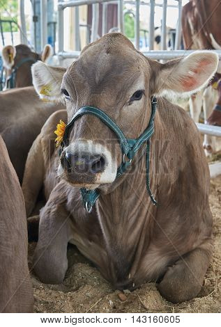 Portrait of a dark-brown cow in a bridle. The bridle is decorated with orange flower