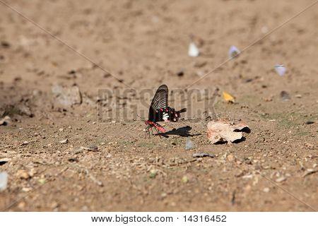 butterfly/Common Rose/Pachliopta Aristolochiae