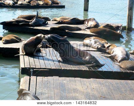 Sea lions at PIER 39 resting and kissing, Fisherman's Wharf, San Francisco (California, USA)