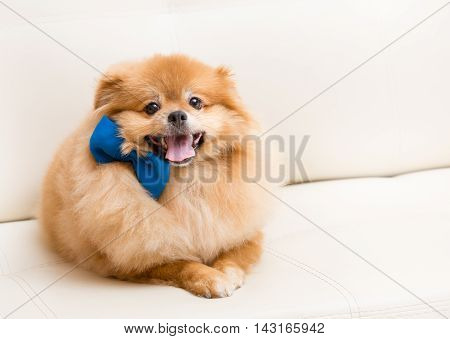 Spitz Dog Sits On Sofa With Bow