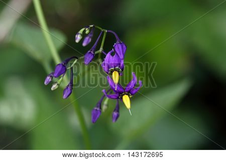 Flowers of a bittersweet nightshade (Solanum dulcamara).
