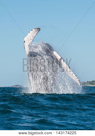 A whale breaches in the pacific ocean poster