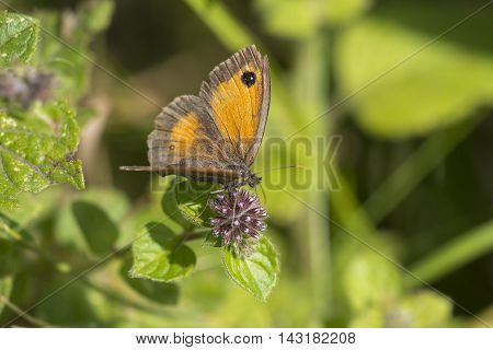 Gatekeeper (Pyronia tithonus) butterfly with open wings resting on Water Mint (Mentha aquatica)