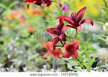 red lily in a sunny garden horizontal
