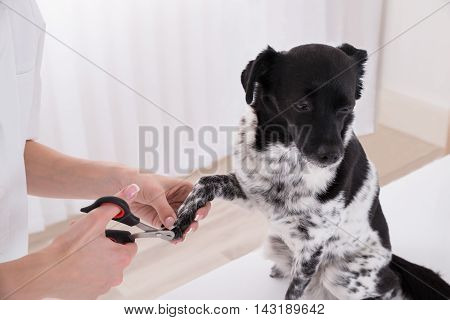 Close-up Of A Vet Cutting Dog's Toenail With Nail Clipper
