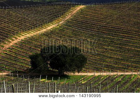 Vineyard area in Casablanca Valley, Valparaiso, Chile