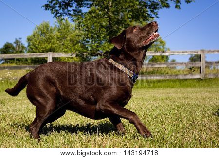 Focused chocolate Lab on lawn ready to leap for ball
