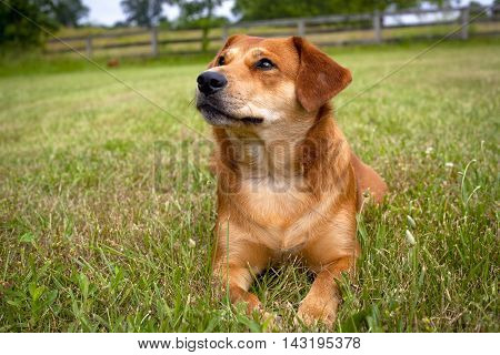 Adorable mutt sitting in grassy lawn looking up and left