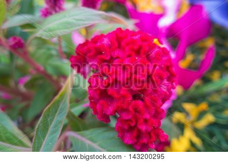 Plumed cockscomb flower closeup on nature background