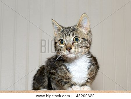 gray and black striped tabby kitten with white chest and paws crouched down looking to viewers left curious surprised look in eyes.