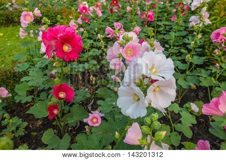 beautiful hollyhock flower or althaea flower in the park.