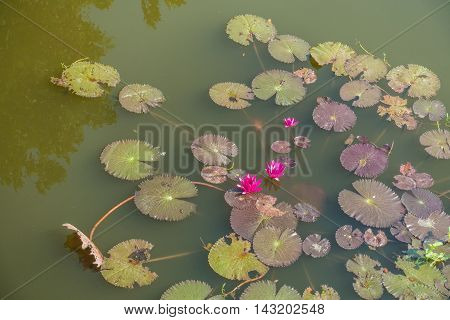 water red lilies nymphaea pubescens on nutural