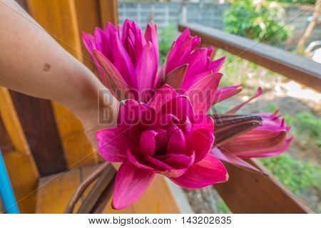 four red nymphaea pubescens in hands thai