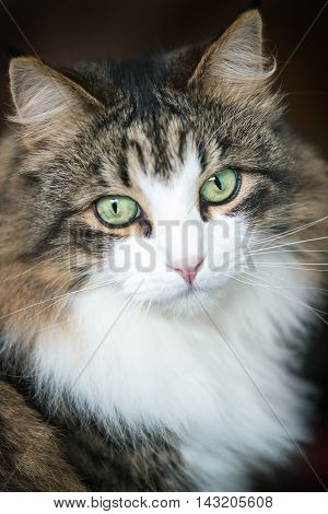 Front view of a beautiful long haired Maine coon cat a soft focus window light shot of a brown white and black domestic cat looking in to the camera with green eyes in a portrait style on a dark background, ideal for a, postcard or calendar.