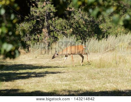 urbanized White-tailed deer  (odocoileus viginianus)
