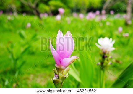 Curcuma alismatifolia  in the flower garden in the park.