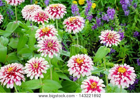 Multicolor flowers in the flower garden in the park.