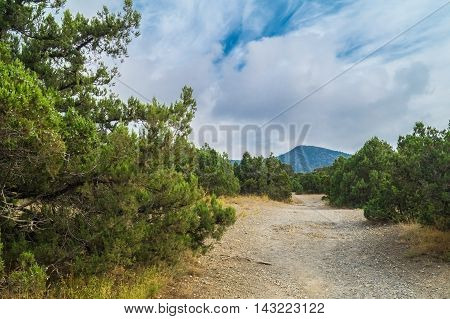 Evergreen trees in the relict juniper grove in the background a mountain shrouded in clouds