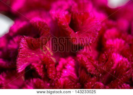 Beautiful Cockscomb (Celosia cristata) flower closeup. Vivid colors.