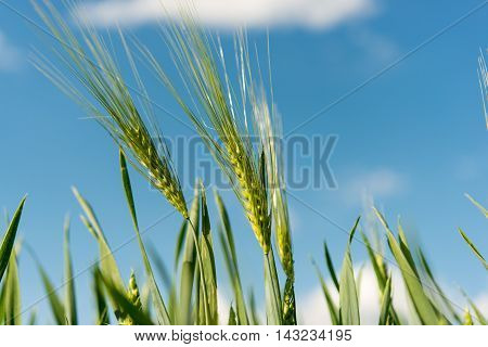 wheat field on a background of blue sky