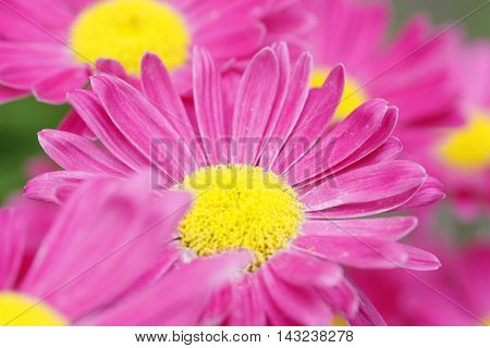 Pink daisy. Camomile flower in the garden.