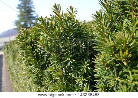 Beautiful evergreen shrub in sunlight.  green ornamental shrub