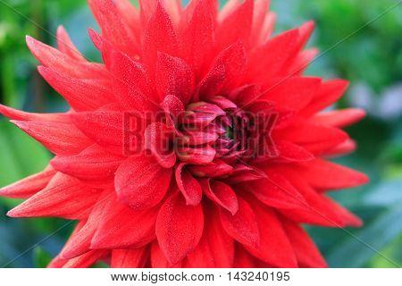 Macro of a red dahlia - cultivar Excalibur