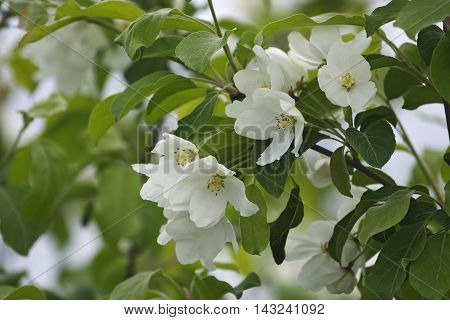 Manchurian crab apple (Malus mandshurica). Close up image of flowers