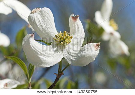 Springtime flowering dogwood flowers (Cornus florida Springtime)