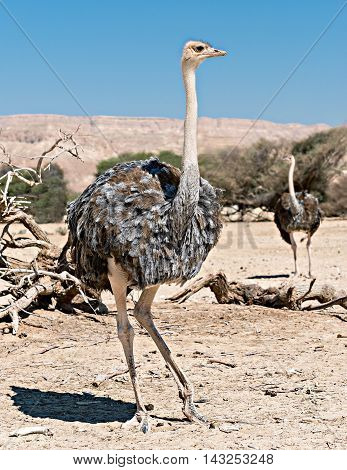 Young African ostrich (Struthio camelus) with young chicks in nature reserve park, 35 km north of Eilat, Israel