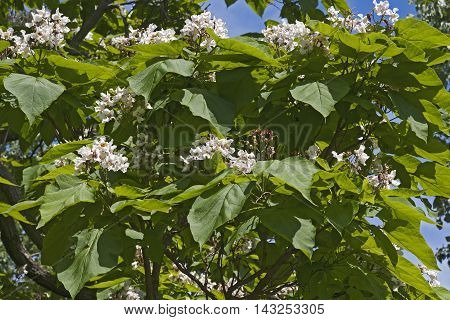 Northern catalpa tree in blossom (Catalpa speciosa). Called Hardy Catalpa Western Catalpa Cigar Tree and Catawba-tree also
