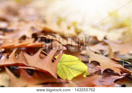 Forest floor with autumn leaves and selective focus. Sunbeam and copy space.
